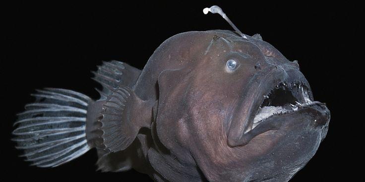 Tamboril é o nome popular dos peixes lophiiformes,possui uma espécie de isca sobre sua cabeça,composta pelo primeiro raio da barbatana dorsal modificada, que se projeta sobre a boca do peixe. No topo disso, existe um órgão com bactérias luminosas que produzem uma luz azul-esverdeada. Como a pele dele absorve luz azul ao invés de refleti-la, o corpo do tamboril fica escondido na escuridão. Assim, quando alguma presa é atraída pela luz, ele a engole. Doug Perrine