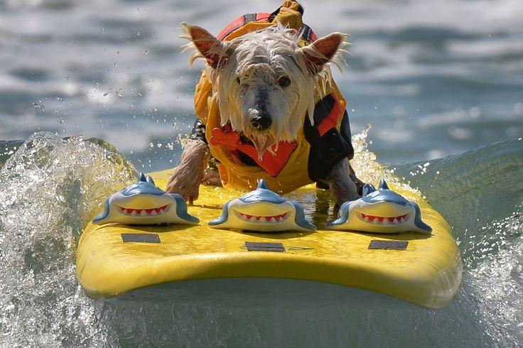 Die surfenden Hunde aus Kalifornien - In Huntington Beach finden der sechste jährliche Surf City Surf Dog Wettbewerb statt. In sechs verschiedenen Kategorien für kleine bis große Hunde und sogar zu zweit in Tandem messen sich die Vierbeiner auf dem Brett und machen dabei keine schlechte Figur.