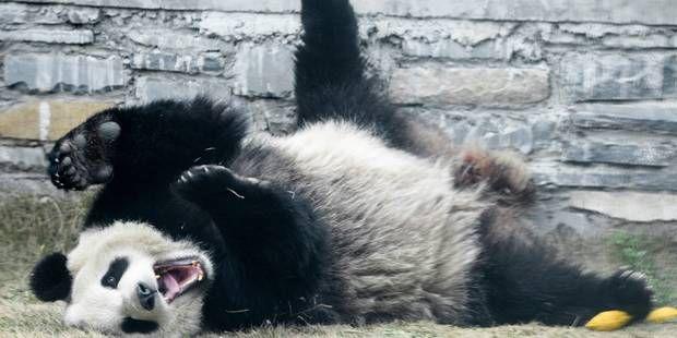 #Assurances #animaux : 1 million de dollars pour assurer Hao Hao et Hui Xing... Rassurez-vous, la santé de votre animal vous coûtera moins cher : http://www.comparedabord.com/frais-bancaires/assurance-animaux