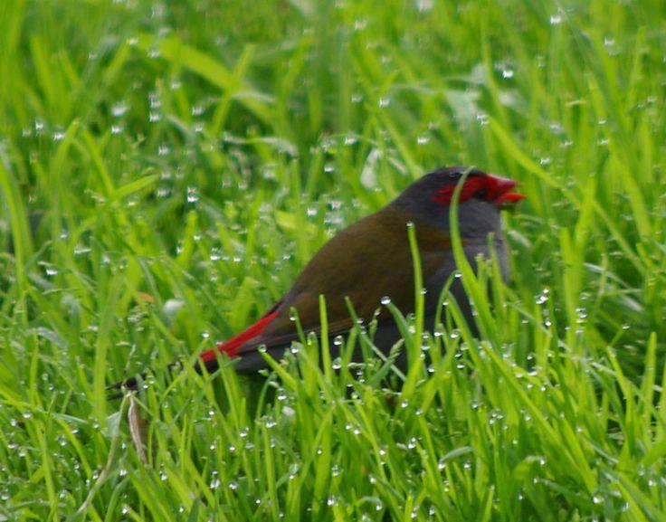 Finch drinking dew