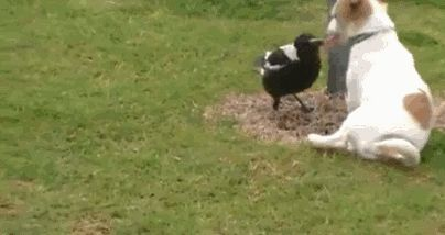 Pretty amazing: a puppy and a magpie playing. #Birds #Puppies #AnimalFriends Facebook.com/Sodoggonefunny