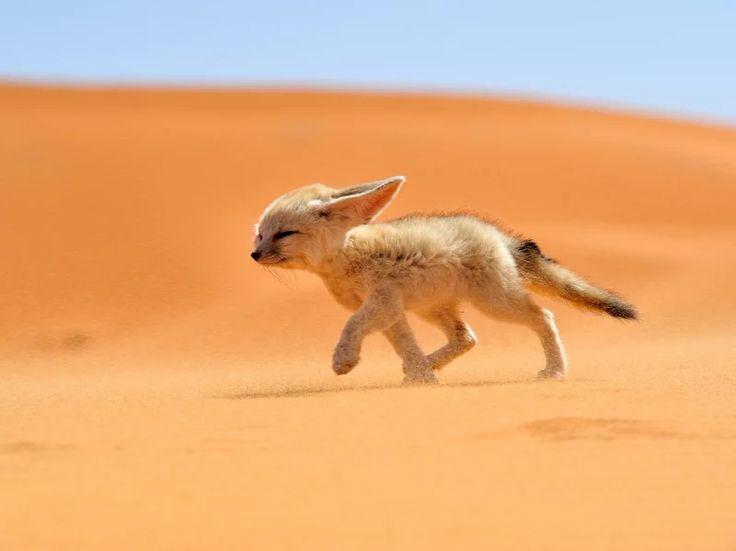 フェネックギツネ(モロッコ) | Sumally (サマリー)