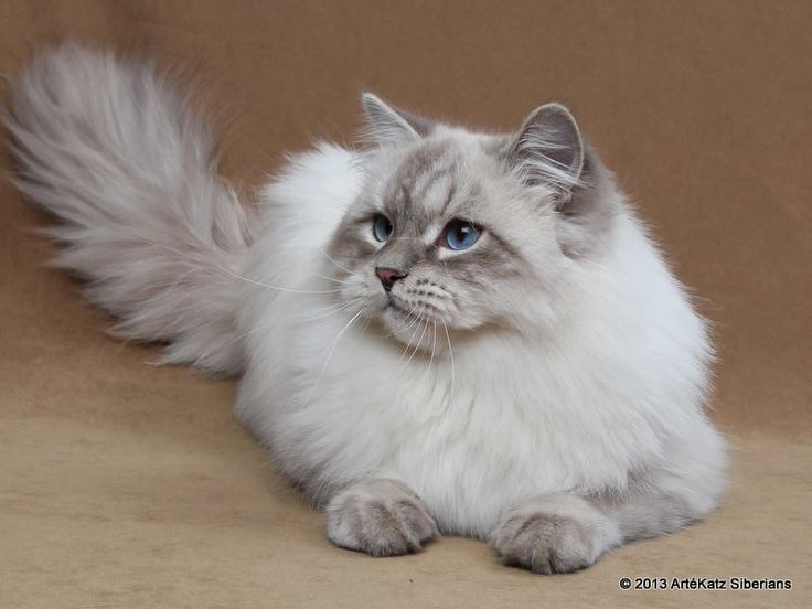 Cat Breeds Suitable For Allergy Sufferers