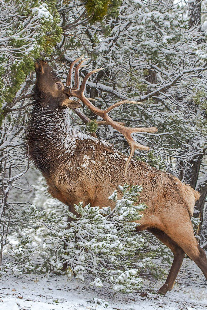 An elk munches on snowy branches on the Grand Canyon's South Rim.