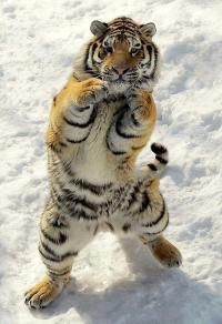 This tiger seems to have his training to be a professional boxer!