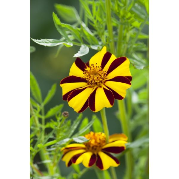 I have just purchased Tagetes patula 'Tall Scotch Prize' from Sarah Raven - https://www.sarahraven.com/flowers/seeds/annuals/tagetes_patula_tall_scotch_prize.htm
