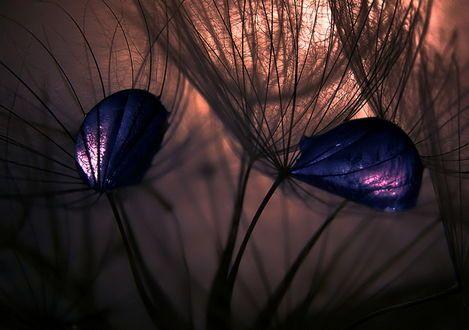 Обои Фиолетовые листья, запутавшиеся в парашютиках одуванчиков на фоне солнечного блика. фотография Emerald Wake