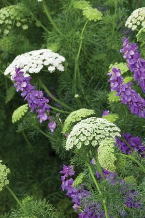 Queen Anne's Lace & Larkspur 'Mauve' (1) From: Sarah Raven, please visit