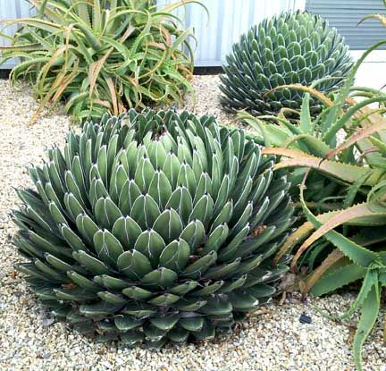Queen Victoria agave--I have agave out the wha-zoo!!! ;-)