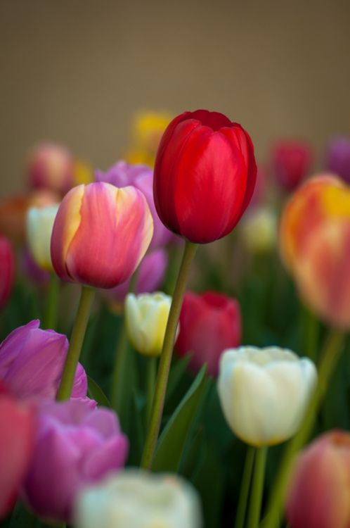 beautiful tulips - wish they lasted all through summer!