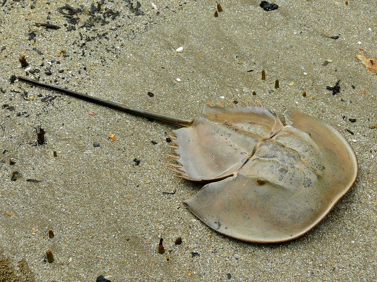 Mangrove Horseshoe Crab (Carcinoscorpius rotundicauda)    …is a species of horseshoe crab found throughout Southeast Asia and India and is the only member of the genus Carcinoscorpius