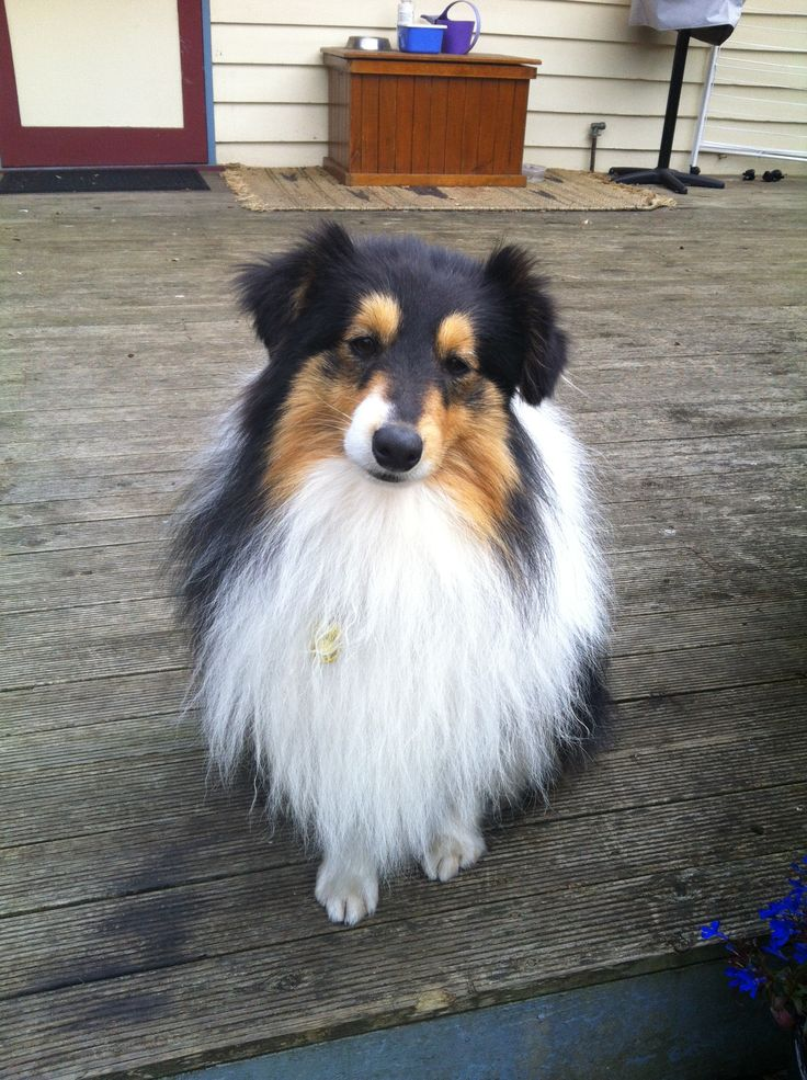 Butter wouldn't melt in his mouth! Flynn the sheltie