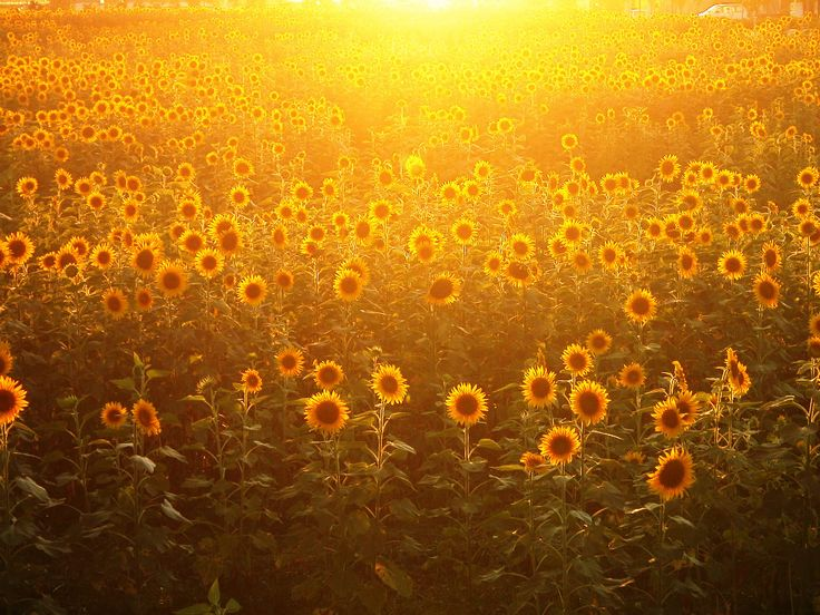 32 best Photography images on Pinterest | Sunflower pictures ...