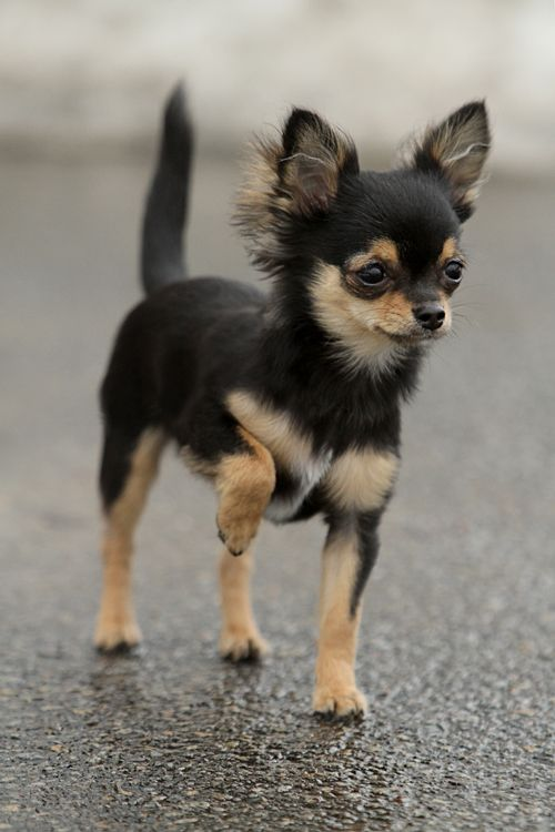 Typical Chihuahua...one paw up.