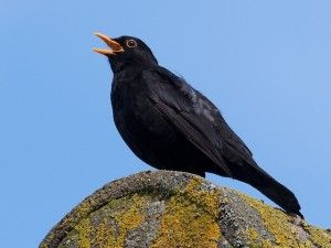 The Blackbird.  Link to their recording