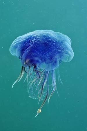 Blue Jellyfish (Cyanea Lamarckii), Feeding on Small Plankton, Lundy Island, Devon, UK Photographic Print by Linda Pitkin at Art.com