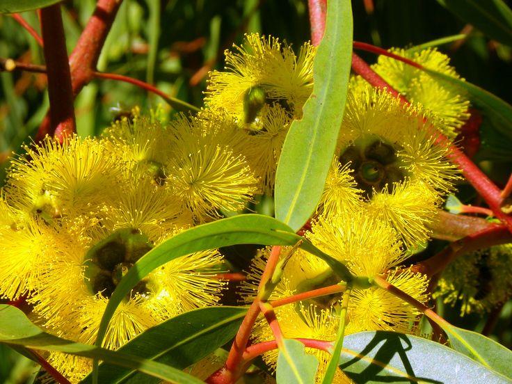 CSIRO_ScienceImage_11601_Flowering_gum_Margaret_River_Western_Australia.jpg 2,657×1,993 pixels