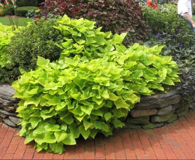 Sweet potato vine plant garden envy pinterest for Ornamental vegetable plants
