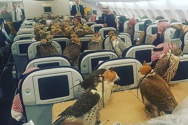 Netizen kecoh 80 ekor helang bertenggek atas tempat duduk penumpang dalam kapal terbang   MUSTAHIL untuk kita membawa 80 ekor burung pemangsa menggunakan kapal terbang kecuali anda seorang Putera Arab Saudi yang mampu menyewa pesawat untuk tujuan itu.  Netizen kecoh 80 ekor helang bertenggek atas tempat duduk penumpang dalam kapal terbang  Kejadian ini bukan lagi mustahil selepas gambar berpuluh-puluh ekor burung sedang bertenggek di tempat duduk penumpang sebuah pesawat menjadi tular…
