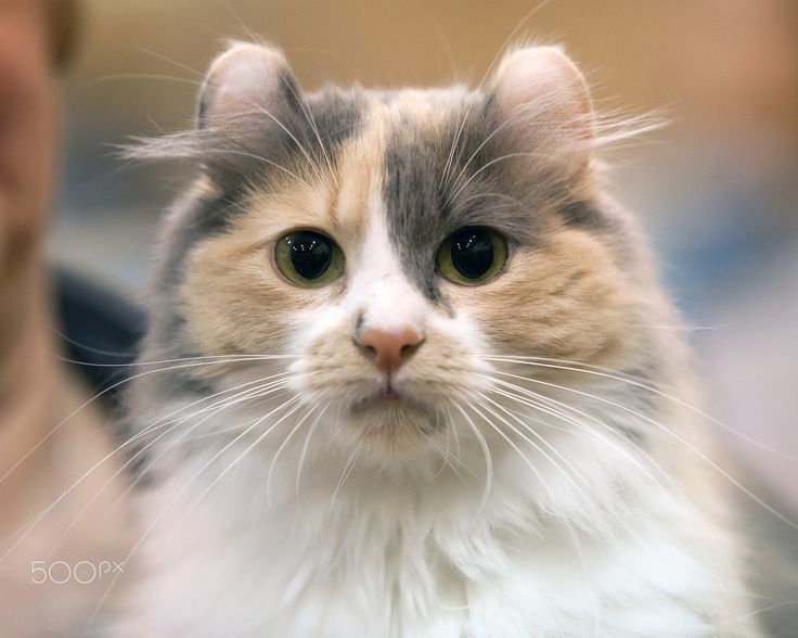 American Curl cat - American Curl cat with characteristic curled back ears