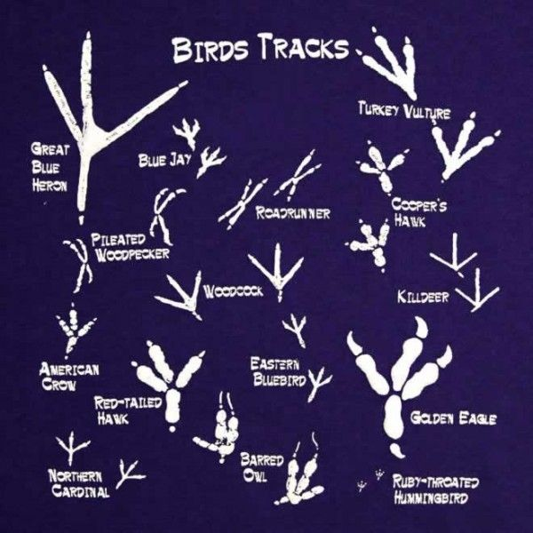Guide to bird tracks | Infographic.  I like the hummingbird tracks, although I don't expect to ever see them. I have seen heron and turkey tracks!