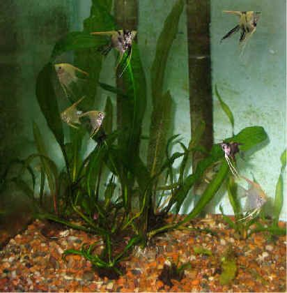 How to decorate with aponogeton plants with pictures