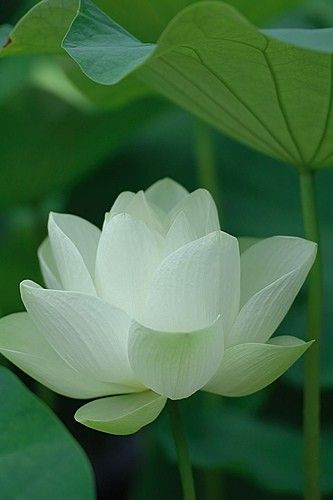 Lotus Flower: White Lotus, Lotus Flowers, Beautiful Flowers, Water Lily, Garden, Water Lilies, Flower