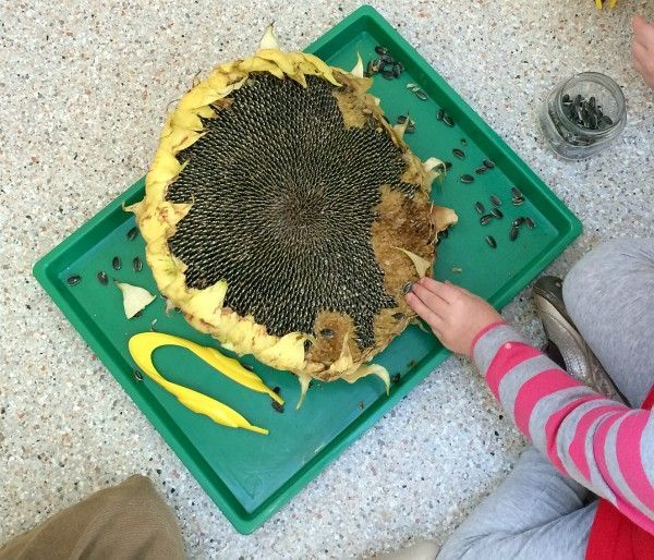 preschool science exploring and investigating a sunflower. Fine motor activity taking out the seeds too.