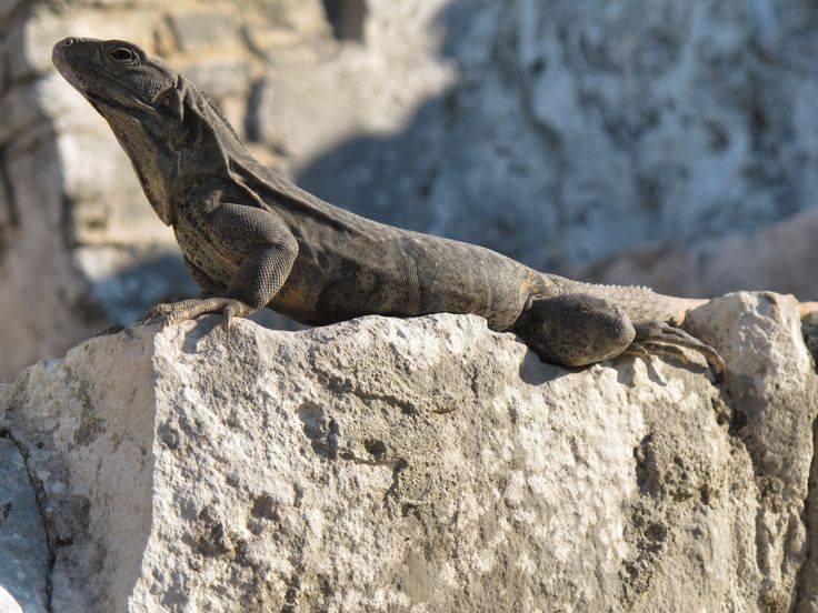 Iguana en la zona arqueológica de Tulum, México