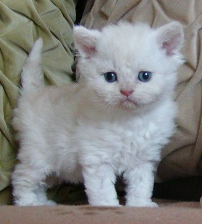 Fluffy White Ball of Selkirk Rex Kitten. I hear they don't shed as much, so I want one.