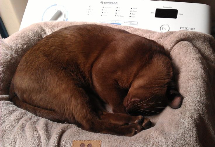 Hudson Brown Burmese Cat