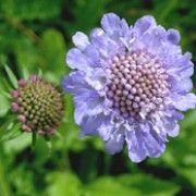 Bat friendly plant. Click image to learn more & add to your own plants list in Shoot. Botanical name: Scabiosa columbaria    Other names: Small scabious, Lilac-flowered scabious , Scabiosa banatica    Genus: Scabiosa    Species: S. columbaria - S. columbaria is an upright perennial with lobed leaves, and palepurple-blue flowes in summer and early autumn.