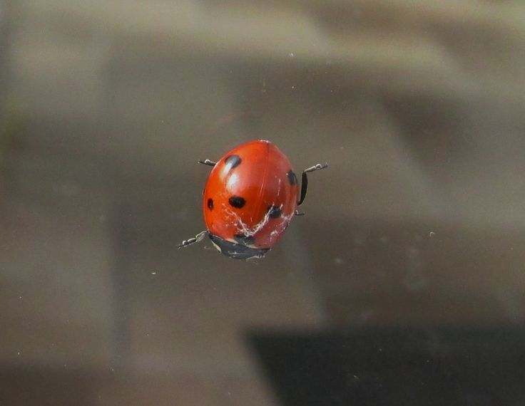 7-spotted ladybird?
