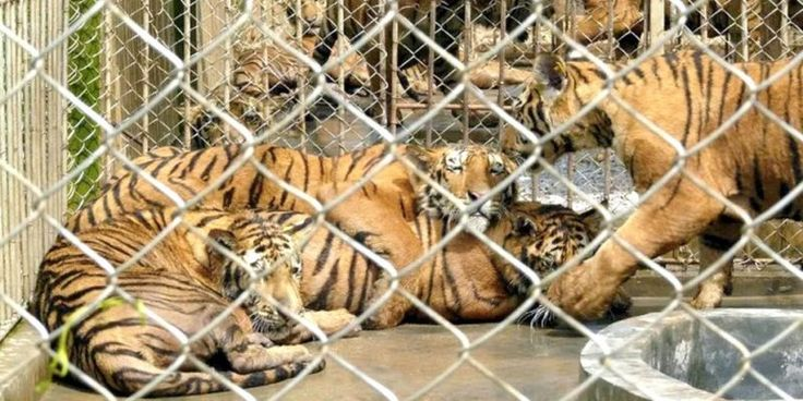 Tiger farming stimulates the demand for tiger products, which stimulates the poaching of wild tigers for superior products.