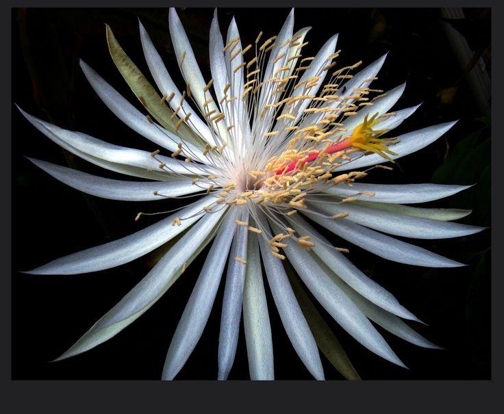 Epiphyllum oxypetalum; common names Dutchman's pipe, or Night-Blooming Cereus Catus