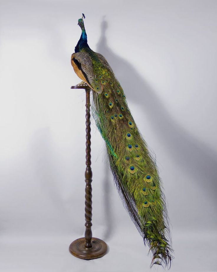 Peacock taxidermy piece for sale. Peacocks (or Peafowl), are two Asiatic and one African species of flying bird in the genus Pavo of the pheasant family, Phasianidae, best known for the male's extravagant eye-spotted tail covert feathers, which it displays as part of courtship. The male is called a peacock, the female a peahen, and the offspring peachicks. Even though the Peacock is native to India, in Babylonia and Persia the Peacock is seen as a guardian to royalty, and is often seen in…