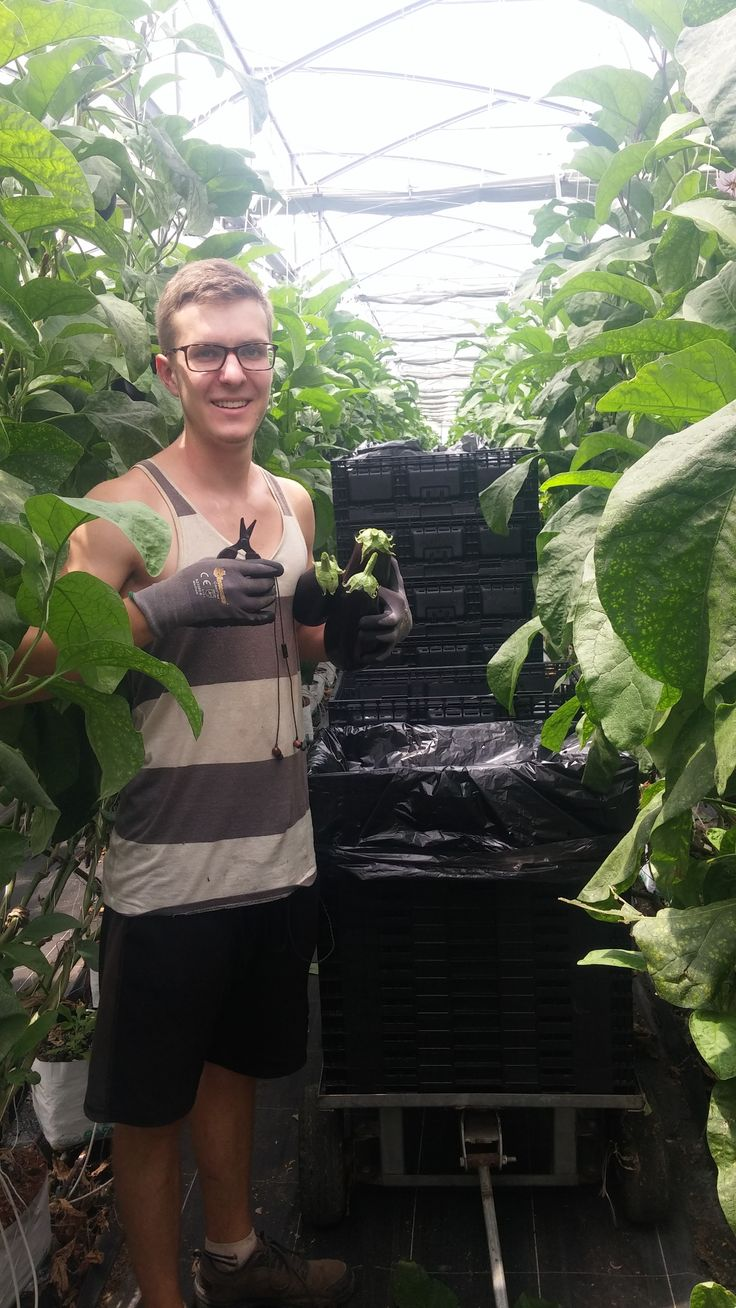 Henry from the greenhouse team, picking eggplant at Moore Park #aussiefarming #behindthescenes