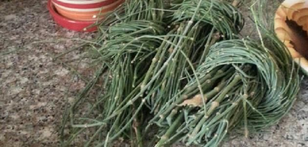 عشبة العلندة فوائد عشبة العلندة طريقة استخدام عشبة العلندة الموطن الأصلي لعشبة العلندة عشبة العلندة تنمو نبتة العلندة لمتر واحد ت Herbs Plants Garden