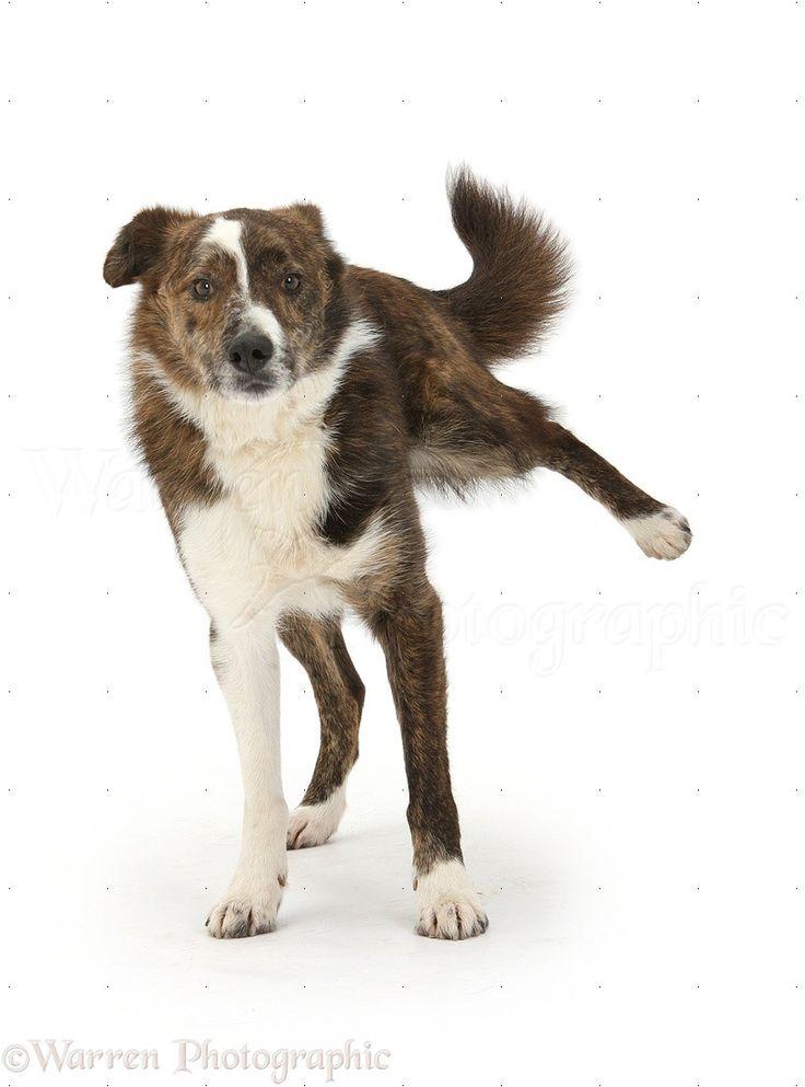 Playful mongrel dog cocking his leg
