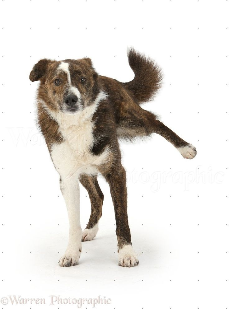 Marvelous Playful Mongrel Dog Cocking His Leg