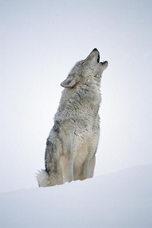 Timber Wolf Howling by Tim Fitzharris