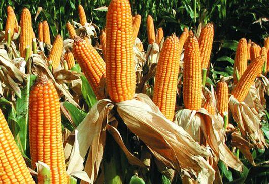 Los resultados obtenidos concuerdan con los recopilados en otras regiones del mundo, lo que confirma que no hay riesgos adicionales en el cultivo de maíz transgénico comparados con el maíz convencional. Por: Alfredo L. Zamora Un equipo de investigado