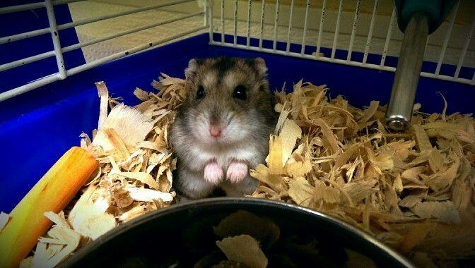 #winterwhite #hamster #petsmart | Petsmart Animals ...