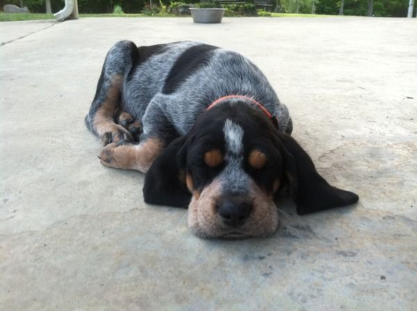 Davis Branch Blueticks - Past Puppies  want one!!!!