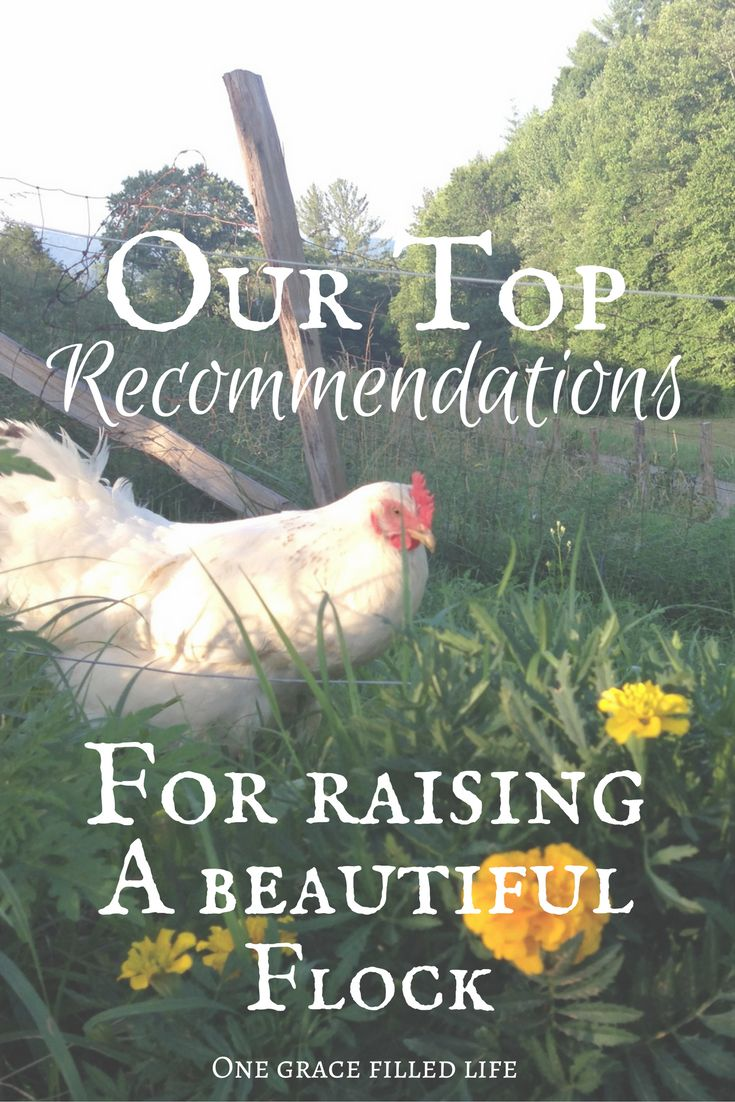 Definite must haves for raising chickens. Backyard chickens, healthy chickens, chicken treats, organic chicken feed.