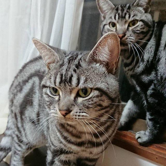 . 写真をお願いして 何枚か送られてきたうちの 唯一ブレが無かった写真😅笑 動き激し過ぎてほぼブレブレでしたww ムチムチ感が更にアップしてる♡♡( `ε´ ) #将暉 #小鉄  #猫 #ねこ #ネコ #にゃんこ #ニャンコ #cat #アメリカンショートヘア #仲良くしてください #お友達募集中 #猫好き #고양이 #アメショ #ねこら部 #ねこ部 #広島にゃんこ #広島 #catstagram #cute #愛猫 #愛猫家 #動物 #家族 #ペット