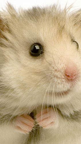 hamster_rodent_feathers_white_background_78910_640x1136 | Flickr - Photo Sharing!❤️