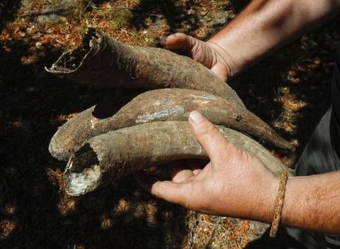 Every fall around the equinox, Sinor-LaVallee Wines' Mike Sinor fills a cow horn with manure — he usually uses the more colloquial term — and buries it in a corner of his vineyard in Avila Valley. The following spring, at the vernal equinox, he digs it up, stirs the aromatic filling in water precisely for an hour and sprays it on the vineyard.