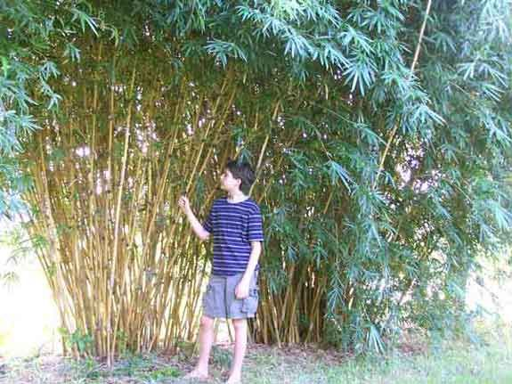 how to grow chinese bamboo