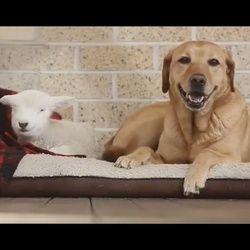 Le Labrador et l'agneau orphelin, adorable et inséparable duo - Insolite - Wamiz